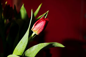 rote-tulpe