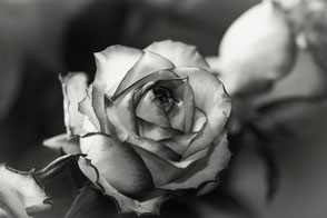 rose-black-and-white-makro