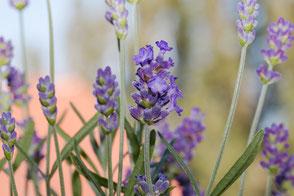 lavendel-lavendula-blueten-makro