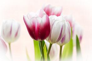 zarte-tulpen-weiss-rosa-makro