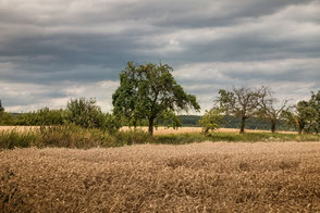 Bäume im Getreidefeld