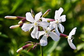 Weiße-Feldblumen-Lichtnelken