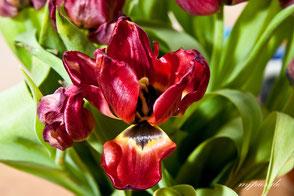 tulpe-verblueht