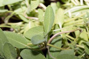 salbei-pflanze