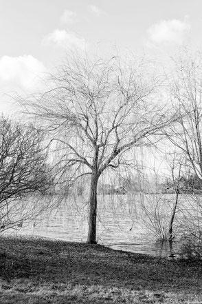 Trauerweide am See monochrome