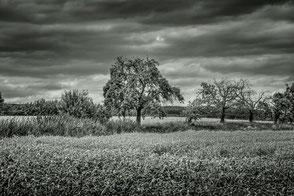 Bäume im Getreidefeld monochrome