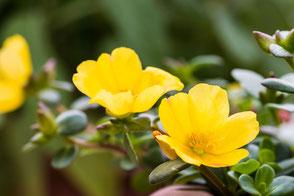 portulak-roeschen-gelb