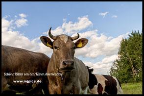 kühe-und-rinder
