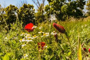 wildblumen-auf-der-wiese