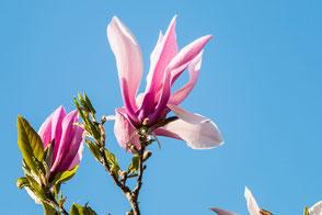 magnolien-blueten-vor-blauem-himmel