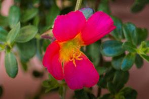 portulak-roeschen-pink