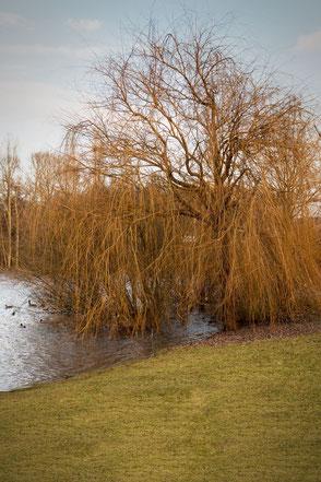Trauerweide auf der Wiese am See