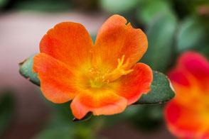 portulak-roeschen-orange