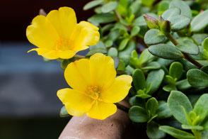 portulak-roeschen-gelb-im-kuebel