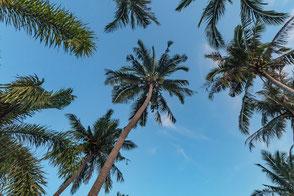 Kokospalmen unter blauem Himmel Koh Phangan © mjpics