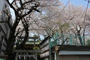 妙義神社境内の桜