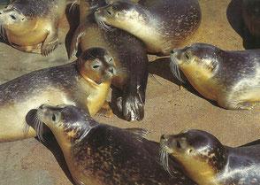 Shop-Angebot: Ansichtskarte - Cuxhaven - Seehunde - Endpreis: 9,99 €