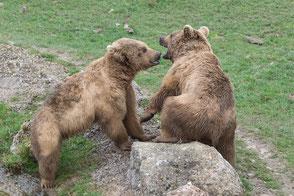 Syrische Braunbären