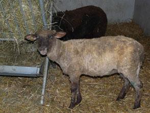 das gleiche Schaf einen Monat später