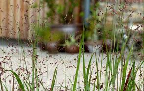 Rötliche Rutenhirse - Panicum virgatum 'Squwa'