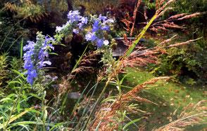 Herbstsalbei Salvia grandiflora mit Goldbartgras Sorghastrum nutans