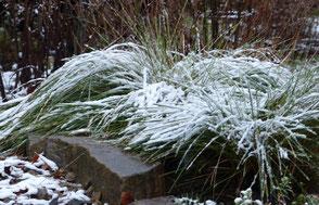 Immergrün und eingeschneit:  Im Winter zeigt sich die Blattschöpfe strukturstark und winterhart