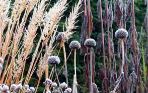Wintersilhouette der Ähren (links) bleibt lange goldgelb und steht im Kontrast zu anderen Samenständen