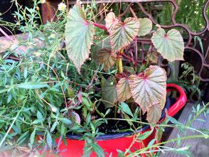 Begonia grandis aus Parc Vasterival