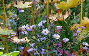 Aster laevis Calliope Herbstblüher