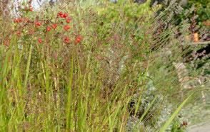 Rötlichen Ähren schweben über dichten, straffen Blättern, die vereinzelt rötliche Blattspitzen zeigen