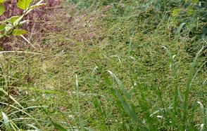 Riesenpfeifengras, Riesen-Pfeifengras, Molinia arundinace Windspiel