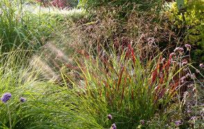 Purpur-Rutenhirse Panicum virgatum 'Shenandoah'