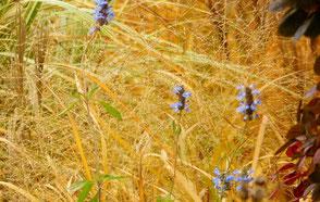 Wenn im Spätherbst die allerletzten Blüten leuchten, bietet 'Windspiel' einen goldenen Hintergrund