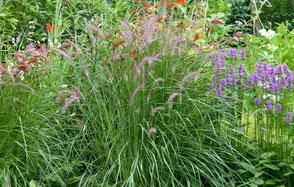 Als Solitär gepflanzt, passt es hervorragend im Sommer zu Stachys 'Humelo' und Herbst zu Aster 'Caliope'