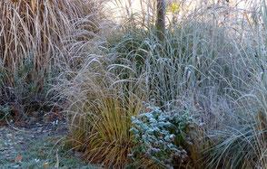 Frost kann den zarten, goldenen Halmen nichts anhaben und sie bleiben noch lange standhaft