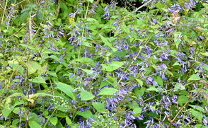 Isodon longitubus vom Pflanzenmarkt Varrangeville