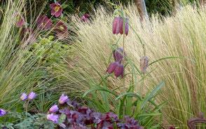 Engelshaar, Federgras, Stipa teniussima, Frauenhaargras, Federgras, Nasella tenuissima im Frühjahr