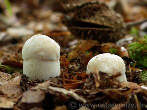 Junge weiße Steinpilze - Boletus edulis - Pilz im Laub - Pilze aus Wismar / Mecklenburg-Vorpommern - ©ostseepilze - Röhrenpilze / Röhrlinge 2021