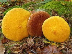 Hohlfuss-Röhrling - gelber und brauner Pilzhut  - ©ostseepilze - Röhrlinge - Pilze mit Schwamm