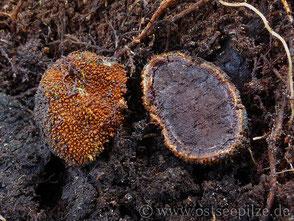 Pilzbilder: warzige Hirschtrüffel - Elaphomyces granulatus - Tuber - Trüffel - Pilze aus Mecklenburg-Vorpommern - Wismar / ostseepilze.de
