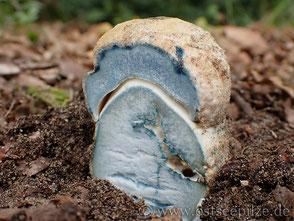 Kornblumenröhrling - Gyroporus cyanescens - Röhrenpilz der blau wird - Pilze aus Wismar / Mecklenburg-Vorpommern - ©ostseepilze - Röhrenpilze / Röhrlinge 2021