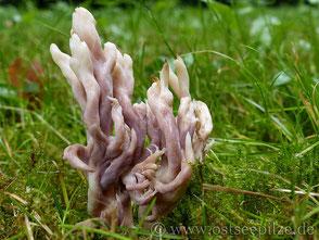 Grauer Korallenpilz - Clavulina cenerea - farbenfrohe Pilze aus Wismar / Mecklenburg-Vorpommern - ©ostseepilze