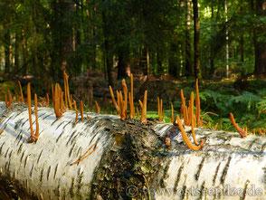Röhrige Keule - Macrotyphula fistulosa - farbenfrohe Pilze aus Wismar / Mecklenburg-Vorpommern - ©ostseepilze