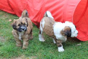 Tibet Terrier Welpen zobel