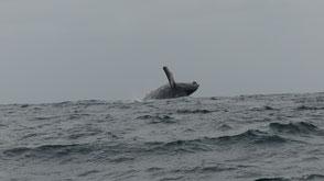 Baleines, La Isla de la Plata, Equateur
