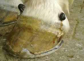 Die Blutegeltherapie ist besonders erfolgreich bei Pferden