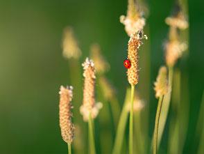 Marienkäfer auf grüner Wiese