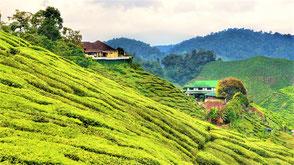 Malaysia Reisetipps Cameron Highlands