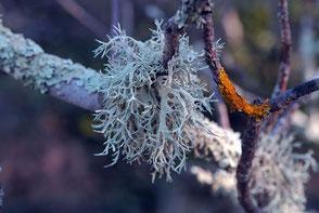 lichen sur un pistachier térébinthe