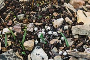 vieille crotte de renard pousses de tulipes